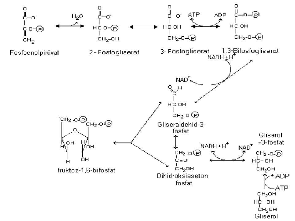 4- Fosfoenolpir ü vat, glikolizin reversibl reaksiyonlar ı n ı n geriye d ö n ü ş ü ile s ı ra dahilinde fr ü ktoz- 1,6- bifosfata kadar ilerler.