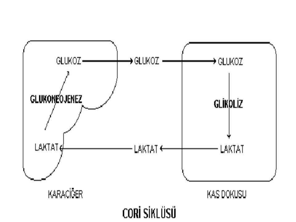 Kas- laktat -karaciğer Laktat kas dokusunda bol miktarda meydana gelir.