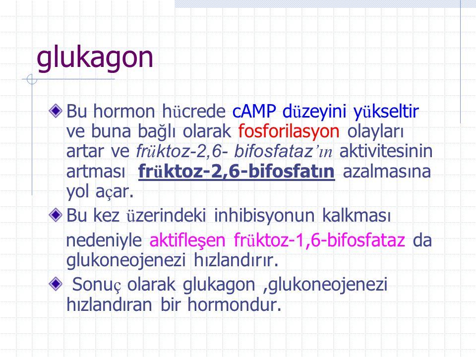 Glukagon en etkili glukoneojenetik hormondur.