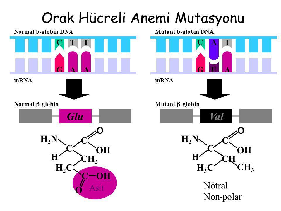 Val Mutant  -globin H2NH2N OH C O H2CH2C H C CH 2 C O Asit Glu Normal  -globin TCT Normal b-globin DNA H2NH2N OH C O H3CH3C H C CH CH 3 Nötral Non-p