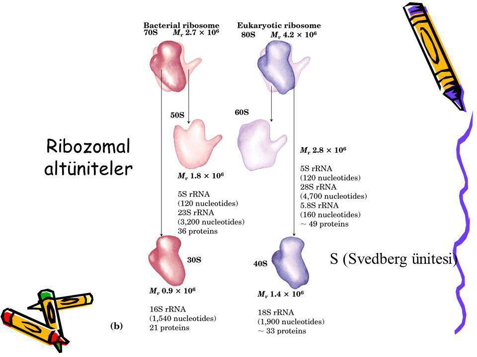 Ribozomal altüniteler S (Svedberg ünitesi)