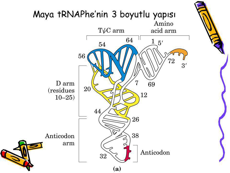 Maya tRNAPhe'nin 3 boyutlu yapısı