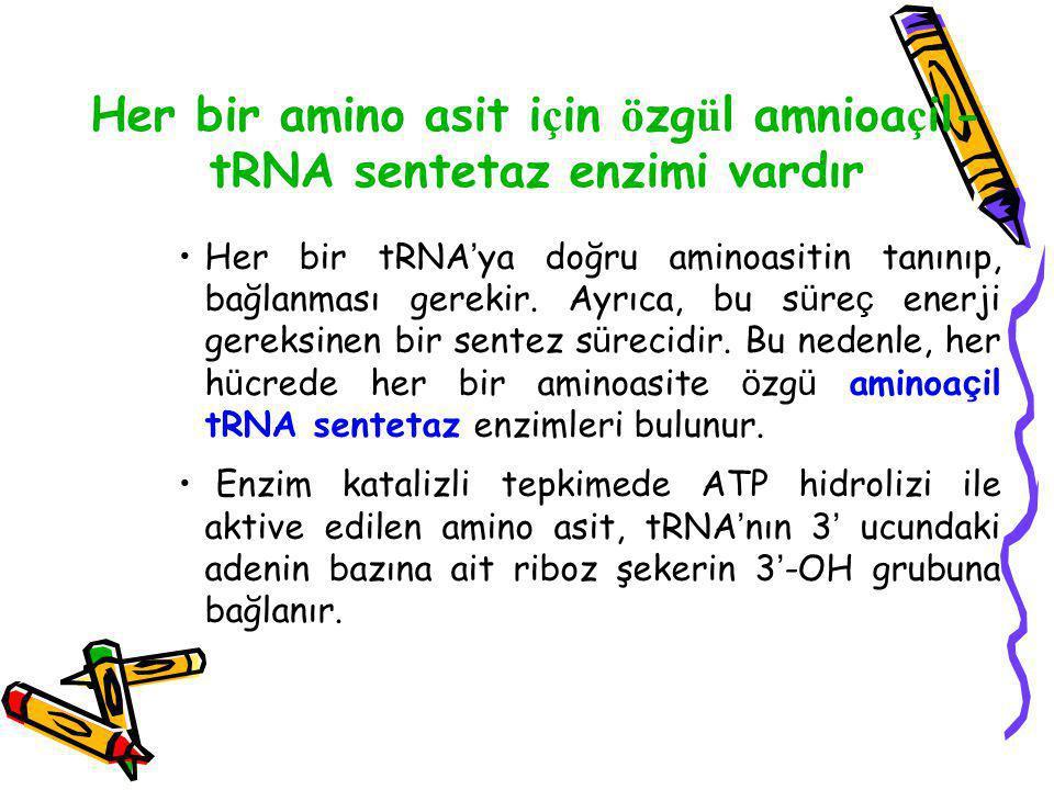 Her bir amino asit i ç in ö zg ü l amnioa ç il- tRNA sentetaz enzimi vardır Her bir tRNA ' ya doğru aminoasitin tanınıp, bağlanması gerekir. Ayrıca, b