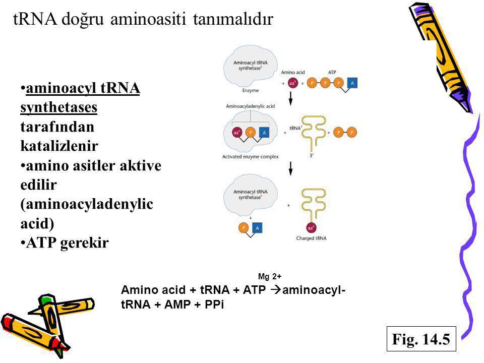 tRNA doğru aminoasiti tanımalıdır aminoacyl tRNA synthetases tarafından katalizlenir amino asitler aktive edilir (aminoacyladenylic acid) ATP gerekir
