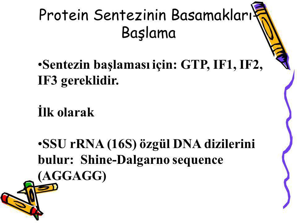 Sentezin başlaması için: GTP, IF1, IF2, IF3 gereklidir. İlk olarak SSU rRNA (16S) özgül DNA dizilerini bulur: Shine-Dalgarno sequence (AGGAGG) Protein