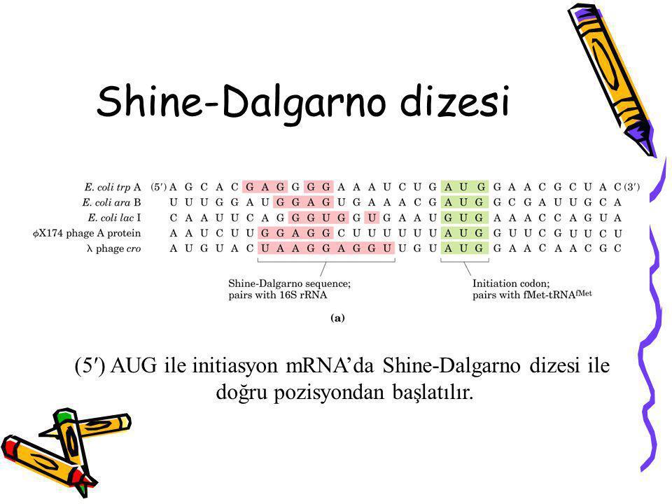 Shine-Dalgarno dizesi (5′) AUG ile initiasyon mRNA'da Shine-Dalgarno dizesi ile doğru pozisyondan başlatılır.