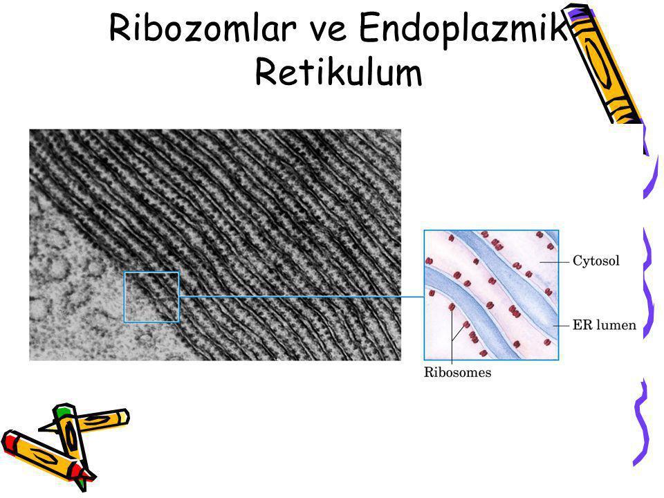 Polizom Hem ökaryotik, hem de prokaryotik hücrelerde protein sentezinde 10 ile 100 ribozom aynı anda aktiftir.