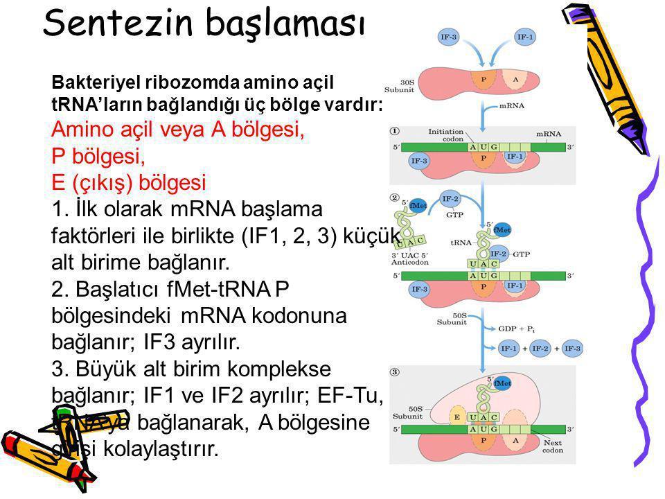 Sentezin başlaması Bakteriyel ribozomda amino açil tRNA'ların bağlandığı üç bölge vardır: Amino açil veya A bölgesi, P bölgesi, E (çıkış) bölgesi 1. İ