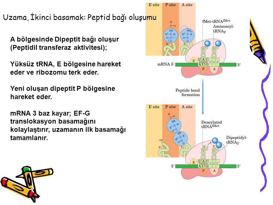 Uzama, İkinci basamak: Peptid bağı oluşumu A bölgesinde Dipeptit bağı oluşur (Peptidil transferaz aktivitesi); Yüksüz tRNA, E bölgesine hareket eder v