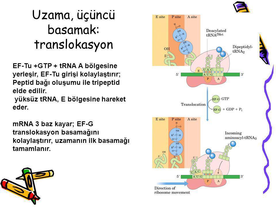 Uzama, üçüncü basamak: translokasyon EF-Tu +GTP + tRNA A bölgesine yerleşir, EF-Tu girişi kolaylaştırır; Peptid bağı oluşumu ile tripeptid elde edilir