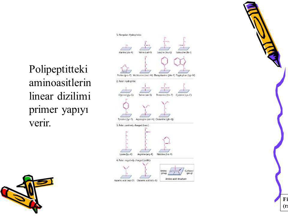 Polipeptitteki aminoasitlerin linear dizilimi primer yapıyı verir. Fig. 14.16; R-groups (radical)