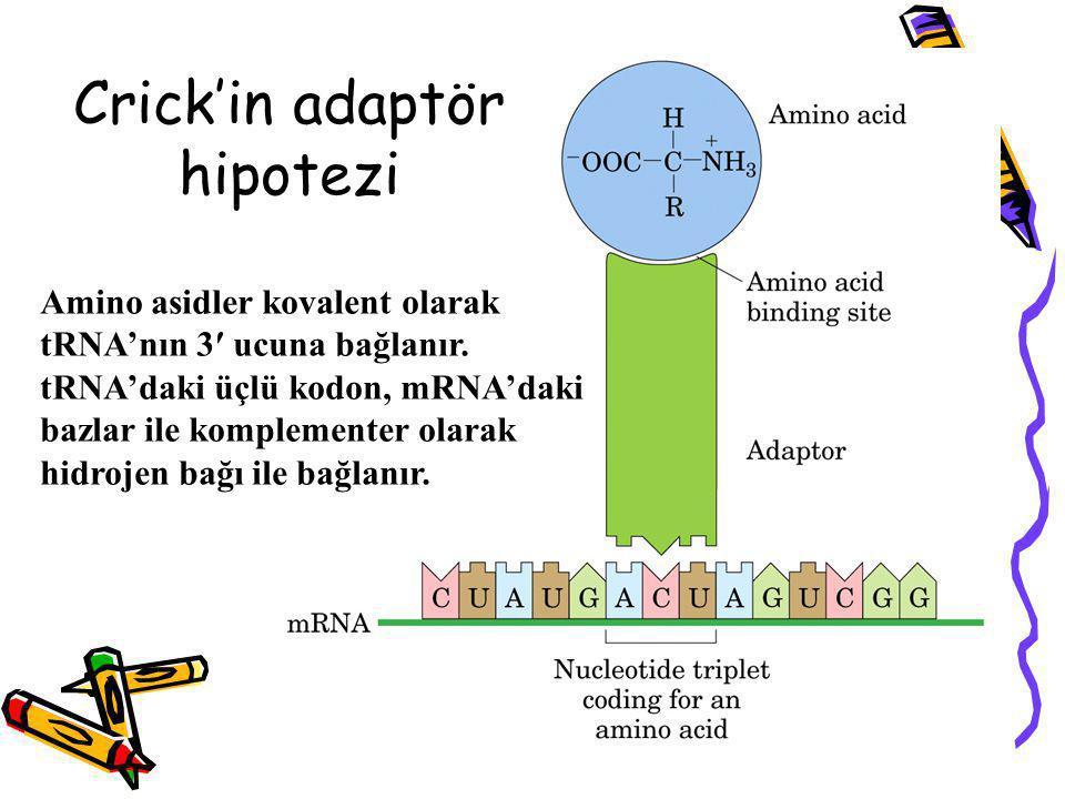 Crick'in adaptör hipotezi Amino asidler kovalent olarak tRNA'nın 3′ ucuna bağlanır. tRNA'daki üçlü kodon, mRNA'daki bazlar ile komplementer olarak hid