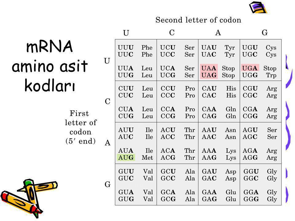 mRNA amino asit kodları