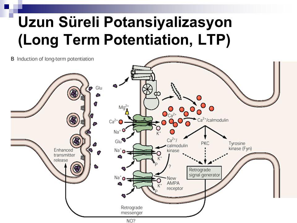 Uzun Süreli Potansiyalizasyon (Long Term Potentiation, LTP)