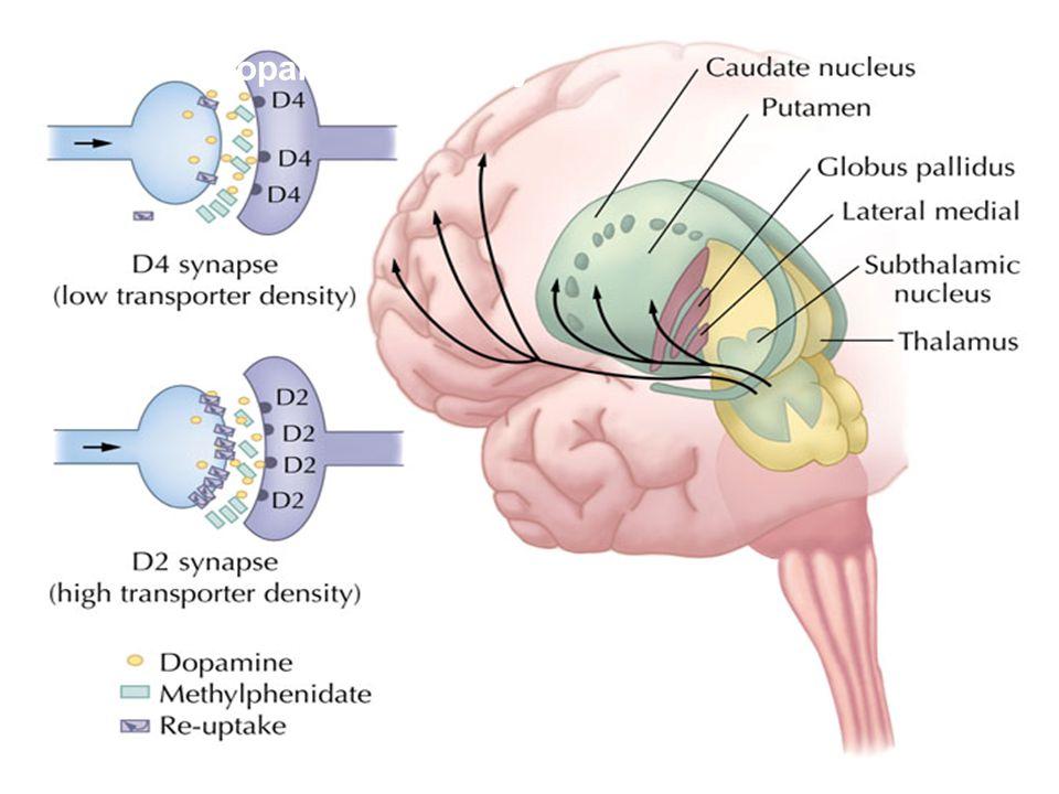 The nigrostriatal dopamine pathway and the mesolimbic dopamine pathway