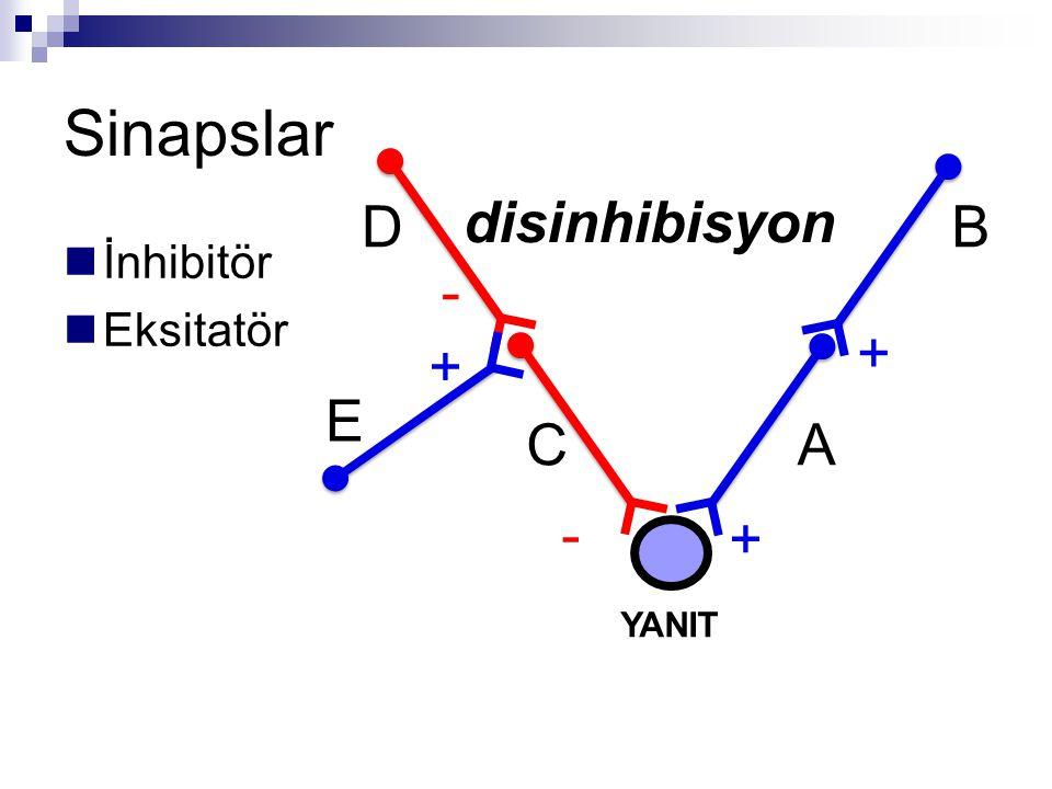 Sinapslar İnhibitör Eksitatör + + - - YANIT disinhibisyon A B C D + E