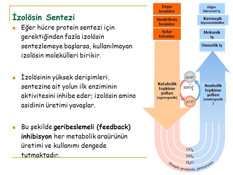 Eğer hücre protein sentezi için gerektiğinden fazla izolösin sentezlemeye başlarsa, kullanılmayan izolösin molekülleri birikir.