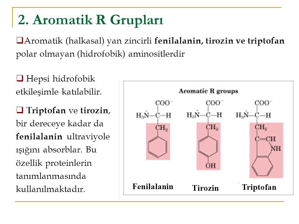 2. Aromatik R Grupları Fenilalanin Tirozin Triptofan  Aromatik (halkasal) yan zincirli fenilalanin, tirozin ve triptofan polar olmayan (hidrofobik) a