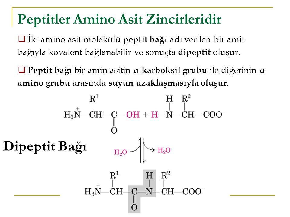 Peptitler Amino Asit Zincirleridir  İki amino asit molekülü peptit bağı adı verilen bir amit bağıyla kovalent bağlanabilir ve sonuçta dipeptit oluşur.