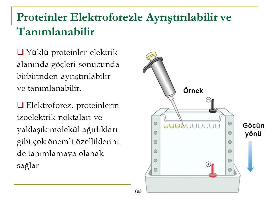 Proteinler Elektroforezle Ayrıştırılabilir ve Tanımlanabilir  Yüklü proteinler elektrik alanında göçleri sonucunda birbirinden ayrıştırılabilir ve tanımlanabilir.