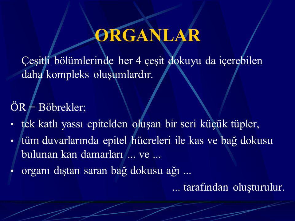 ORGANLAR Çeşitli bölümlerinde her 4 çeşit dokuyu da içerebilen daha kompleks oluşumlardır.