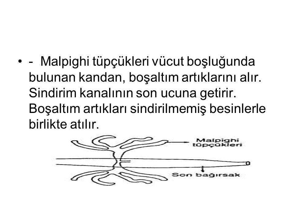 - Malpighi tüpçükleri vücut boşluğunda bulunan kandan, boşaltım artıklarını alır. Sindirim kanalının son ucuna getirir. Boşaltım artıkları sindirilmem