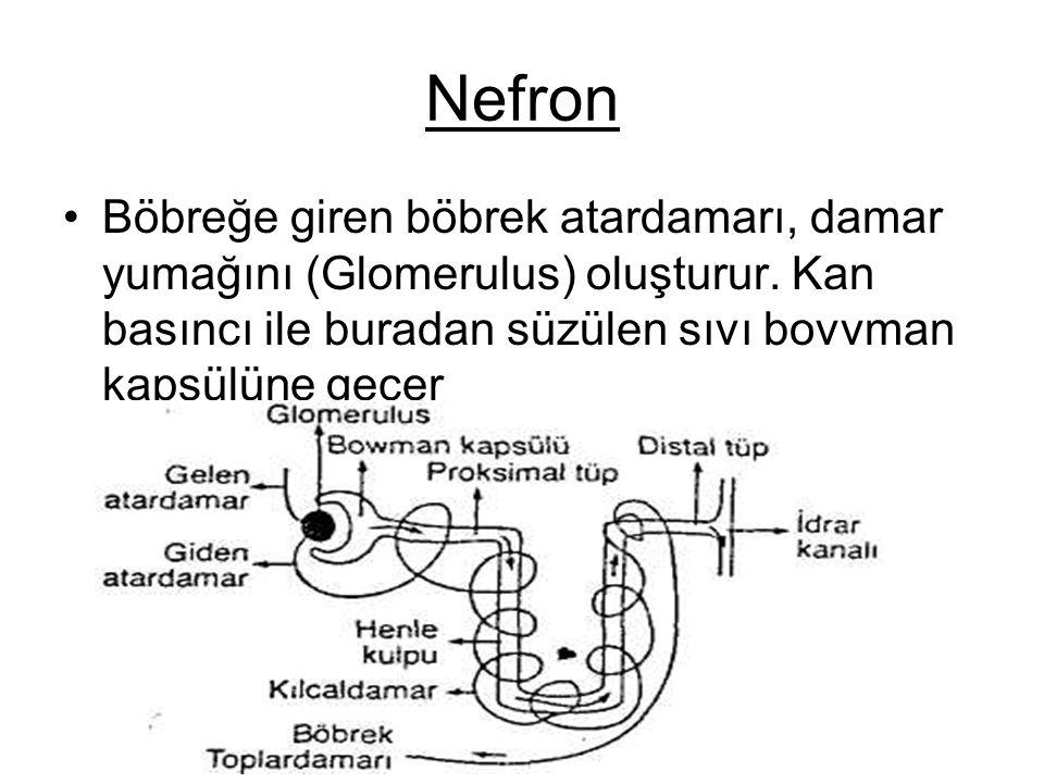 Nefron Böbreğe giren böbrek atardamarı, damar yumağını (Glomerulus) oluşturur. Kan basıncı ile buradan süzülen sıvı bovvman kapsülüne geçer