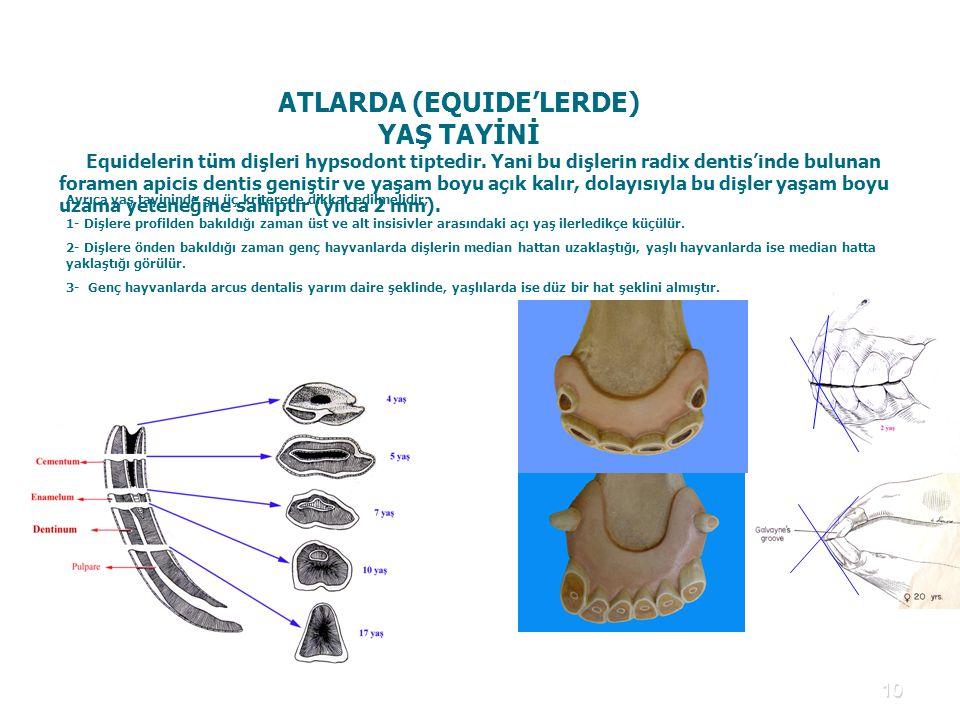 10 ATLARDA (EQUIDE'LERDE) YAŞ TAYİNİ Equidelerin tüm dişleri hypsodont tiptedir. Yani bu dişlerin radix dentis'inde bulunan foramen apicis dentis geni