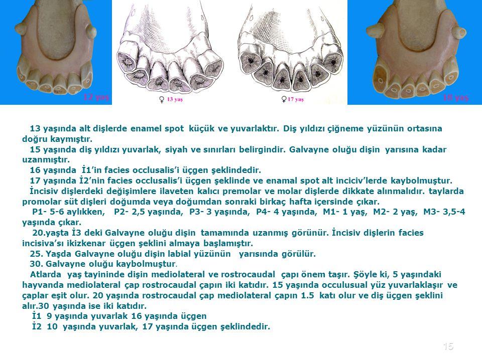 15 13 yaşında alt dişlerde enamel spot küçük ve yuvarlaktır.