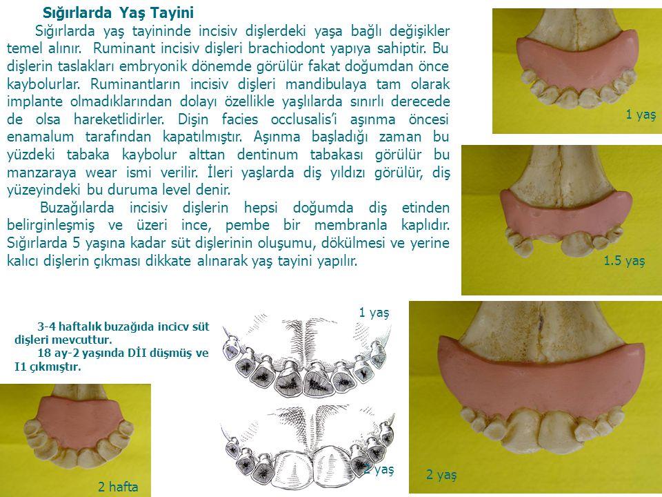 4 Sığırlarda Yaş Tayini Sığırlarda yaş tayininde incisiv dişlerdeki yaşa bağlı değişikler temel alınır. Ruminant incisiv dişleri brachiodont yapıya sa