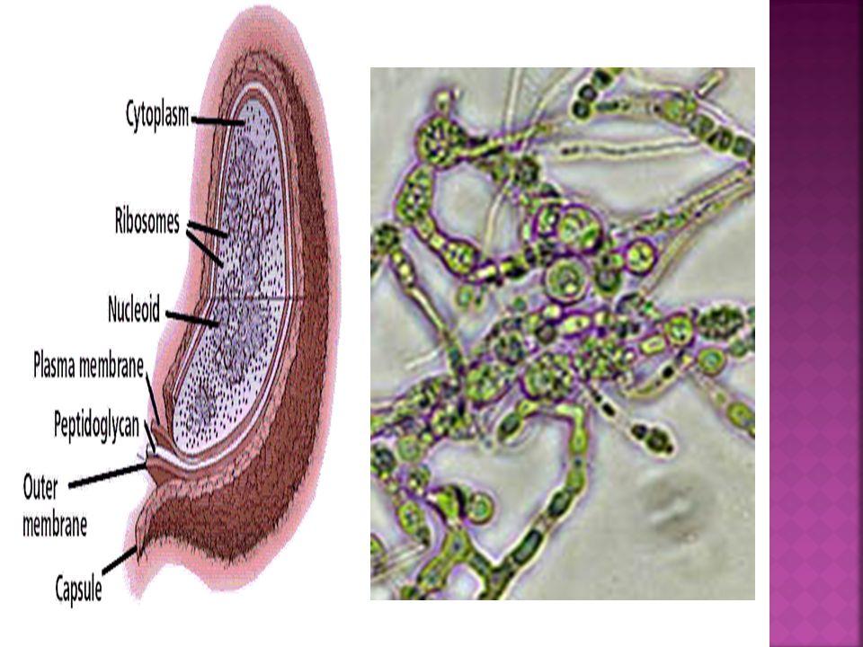  ORGANİZASYON Her canlı morfolojik (dış yapı ) ve anatomik (iç yapı) bakından kendine özgü şekle ve görünüme sahiptir.