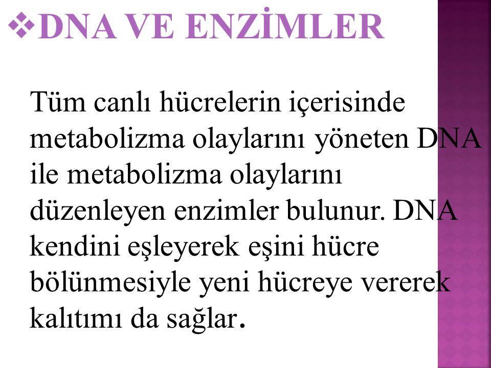  DNA VE ENZİMLER Tüm canlı hücrelerin içerisinde metabolizma olaylarını yöneten DNA ile metabolizma olaylarını düzenleyen enzimler bulunur.