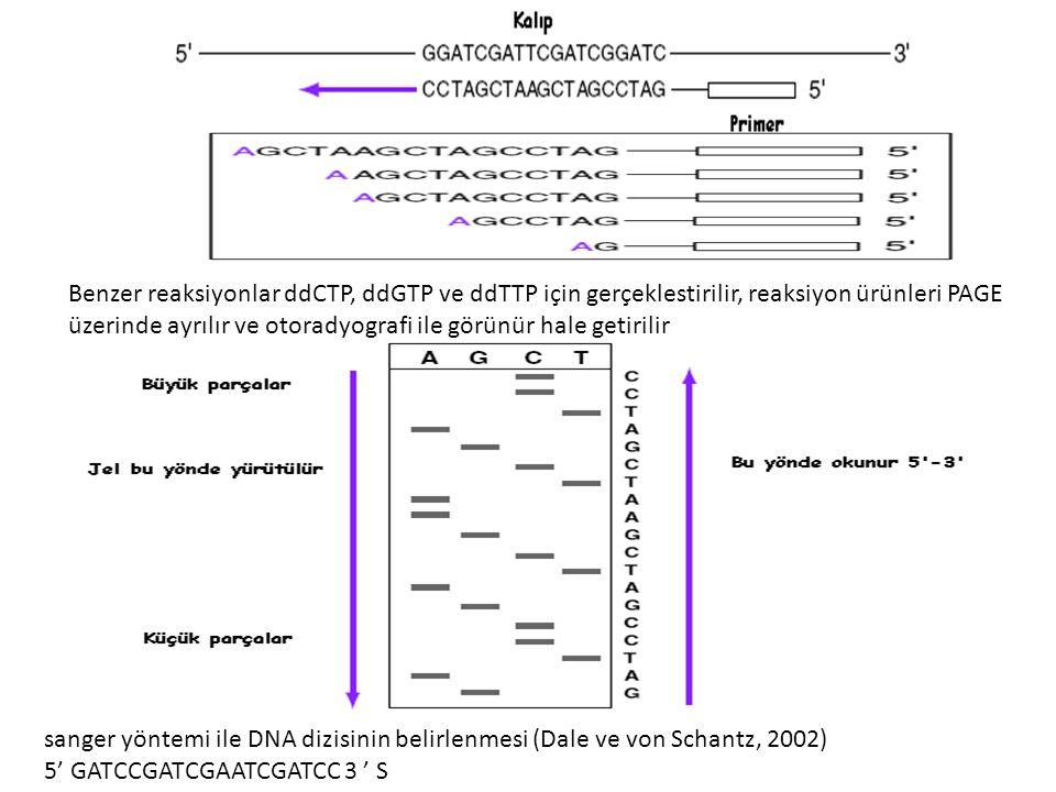 Benzer reaksiyonlar ddCTP, ddGTP ve ddTTP için gerçeklestirilir, reaksiyon ürünleri PAGE üzerinde ayrılır ve otoradyografi ile görünür hale getirilir