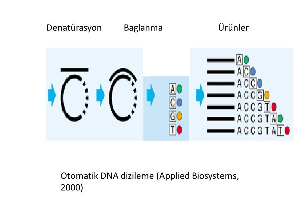 Denatürasyon Baglanma Ürünler Otomatik DNA dizileme (Applied Biosystems, 2000)