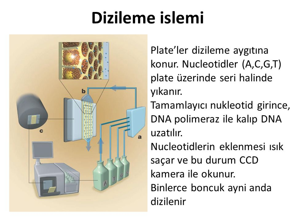 Dizileme islemi Plate'ler dizileme aygıtına konur. Nucleotidler (A,C,G,T) plate üzerinde seri halinde yıkanır. Tamamlayıcı nukleotid girince, DNA poli