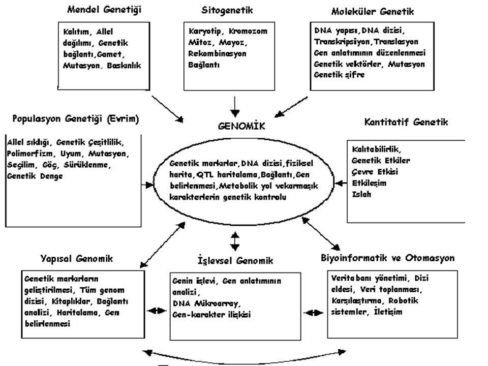 Genomik Genomik: Genomların yapısı, içerigi, islevi ve evolüsyonunu kapsayan çalısmalar.