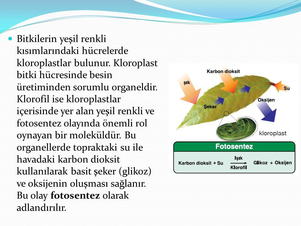 Fotosentez olayı sadece bitkilerde görülmez.