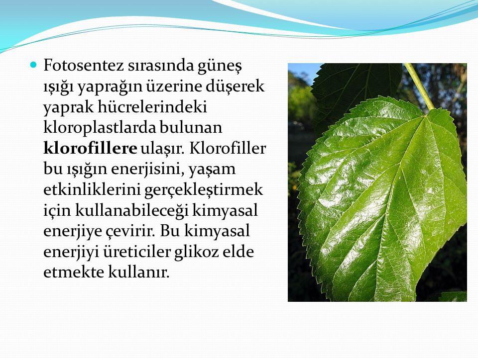 Bitkilerin fotosentez olayını gerçekleştirip gerçekleştirmediklerini anlamanın bir yolu yapraklara iyot çözeltisi damlatmaktır.