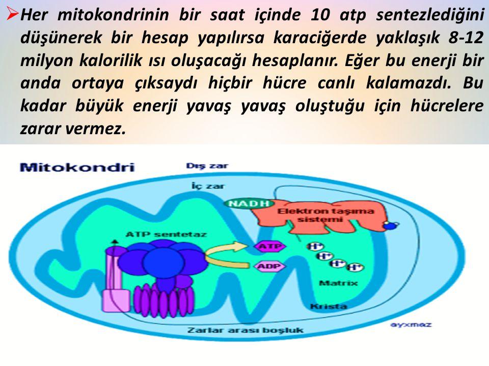  Her mitokondrinin bir saat içinde 10 atp sentezlediğini düşünerek bir hesap yapılırsa karaciğerde yaklaşık 8-12 milyon kalorilik ısı oluşacağı hesap
