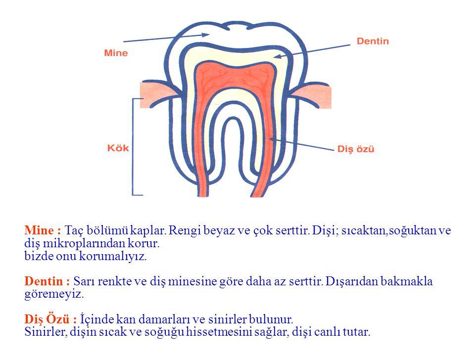 Öncelikle Dişin Yapısını Anlatır. Aynada ağzındaki dişlere bak. Dişin görünen beyaz bölümüne taç denir. Dişin görünmeyen kısmı, çene kemiğinin içinde