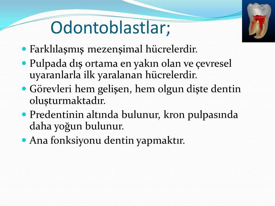 Odontoblastlar; Farklılaşmış mezenşimal hücrelerdir. Pulpada dış ortama en yakın olan ve çevresel uyaranlarla ilk yaralanan hücrelerdir. Görevleri hem