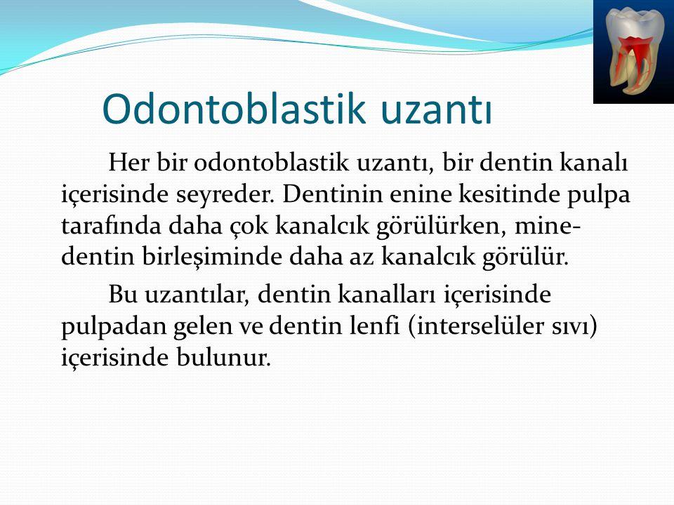 Odontoblastik uzantı Her bir odontoblastik uzantı, bir dentin kanalı içerisinde seyreder. Dentinin enine kesitinde pulpa tarafında daha çok kanalcık g