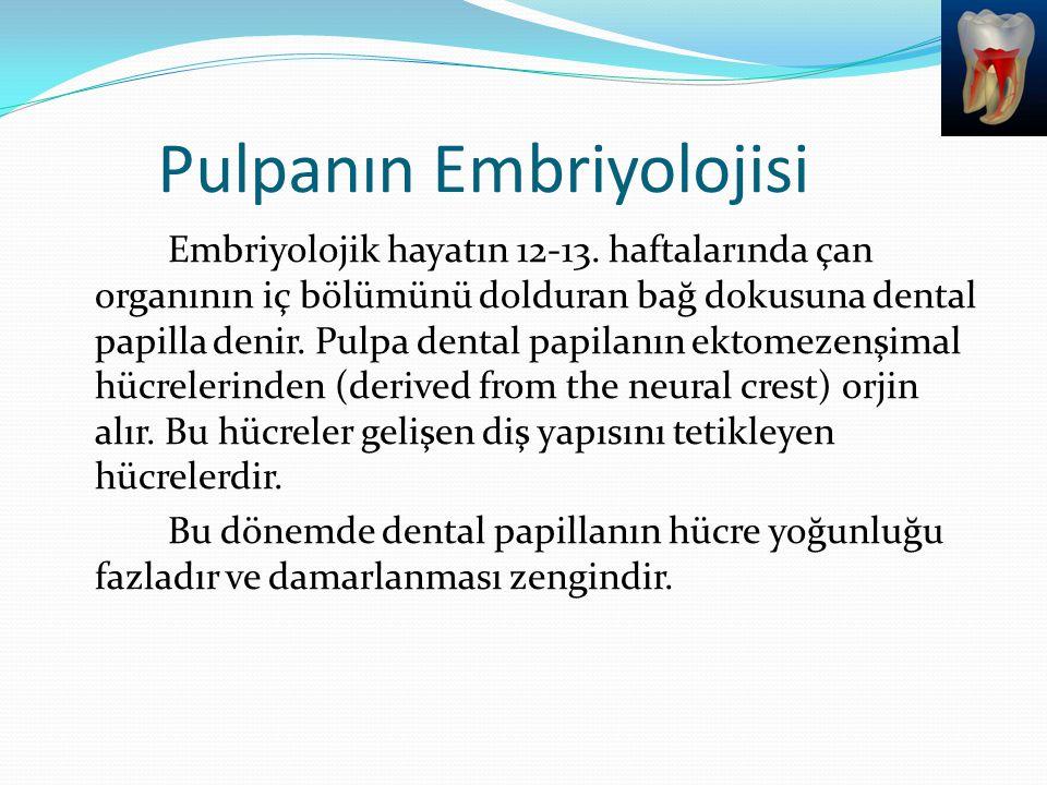 Pulpanın Embriyolojisi Embriyolojik hayatın 12-13. haftalarında çan organının iç bölümünü dolduran bağ dokusuna dental papilla denir. Pulpa dental pap
