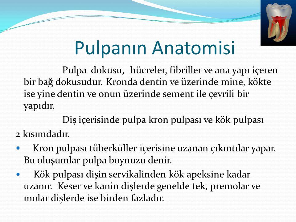Pulpanın Anatomisi Pulpa dokusu, hücreler, fibriller ve ana yapı içeren bir bağ dokusudur. Kronda dentin ve üzerinde mine, kökte ise yine dentin ve on