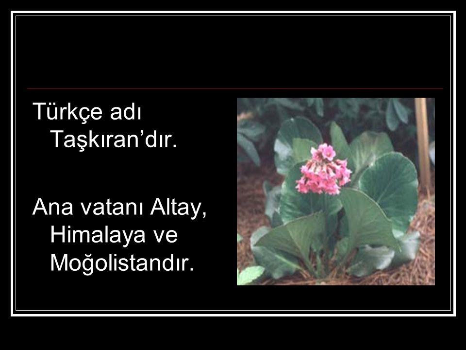 Türkçe adı Taşkıran'dır. Ana vatanı Altay, Himalaya ve Moğolistandır.