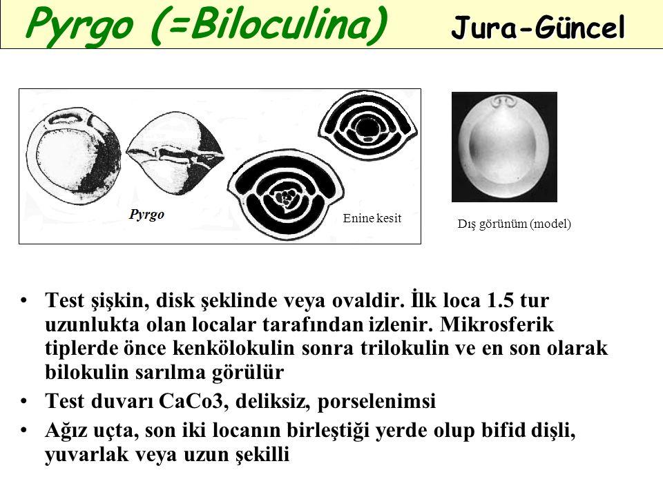 Test şişkin, disk şeklinde veya ovaldir. İlk loca 1.5 tur uzunlukta olan localar tarafından izlenir. Mikrosferik tiplerde önce kenkölokulin sonra tril