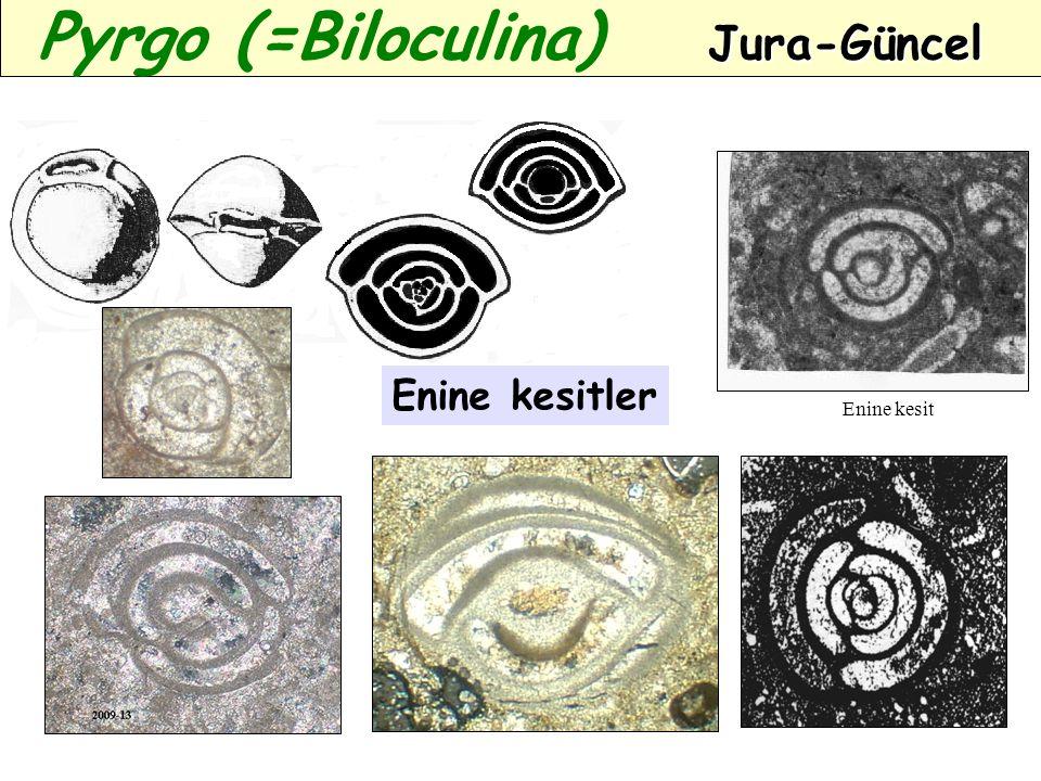 Enine kesit Enine kesitler Jura-Güncel Pyrgo (=Biloculina) Jura-Güncel