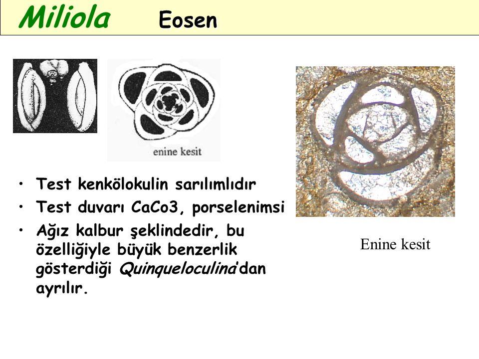 Test kenkölokulin sarılımlıdır Test duvarı CaCo3, porselenimsi Ağız kalbur şeklindedir, bu özelliğiyle büyük benzerlik gösterdiği Quinqueloculina'dan