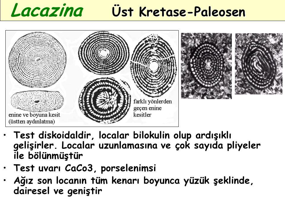 Test diskoidaldir, localar bilokulin olup ardışıklı gelişirler. Localar uzunlamasına ve çok sayıda pliyeler ile bölünmüştür Test uvarı CaCo3, porselen
