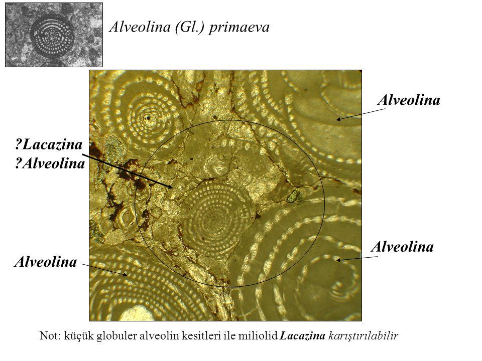 Alveolina ?Lacazina ?Alveolina Alveolina (Gl.) primaeva Not: küçük globuler alveolin kesitleri ile miliolid Lacazina karıştırılabilir